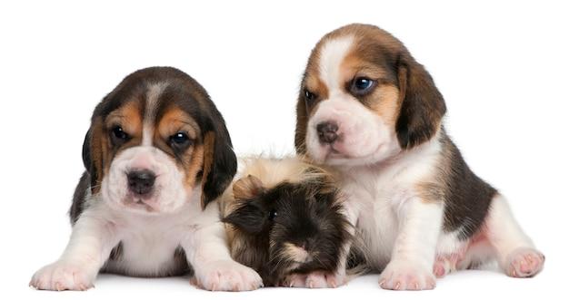 Twee beagle puppies, 1 maand oud, en peruaanse cavia, 6 maanden oud,