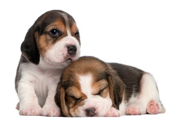 Twee beagle puppies, 1 maand oud,