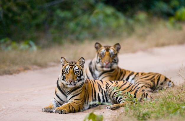 Twee bengaalse tijger liggend op de weg in de jungle. india.