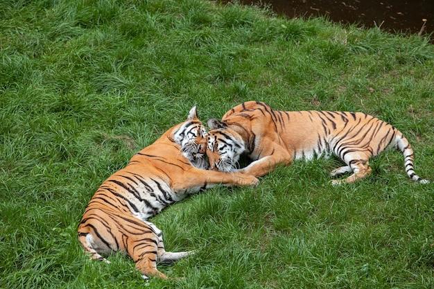 Twee bengaalse tijgers liggen op de groene grasate-relatie.