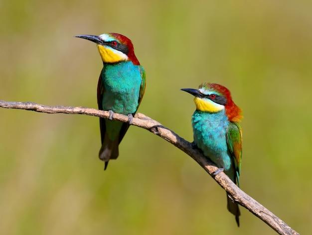 Twee bijeneters met exotische kleuren