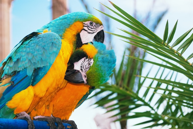 Twee blauwe en gele ara die elkaars veren schoonmaken