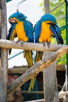 Twee blauwe en gele arapapegaaien