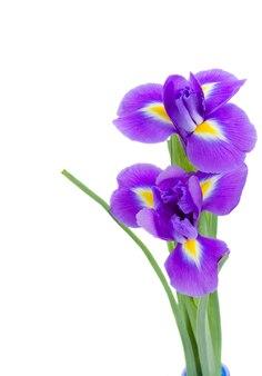 Twee blauwe irise bloemen geïsoleerd