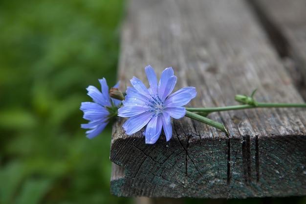 Twee bloemen van cichorei op een oude houten bank