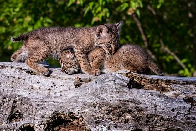 Twee bobcat-katjes die samen op een oud gevallen logboek spelen