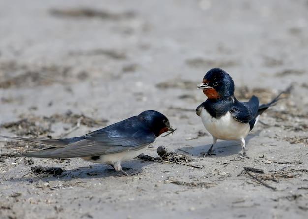Twee boerenzwaluwen verzamelen op de oever van de rivier bouwmateriaal voor een toekomstig nest.
