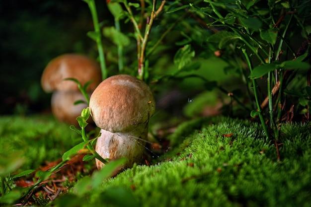 Twee boletus edulis porcini paddenstoel in het bos op mos tussen bosbessenbladeren en kruiden ondiepe d...