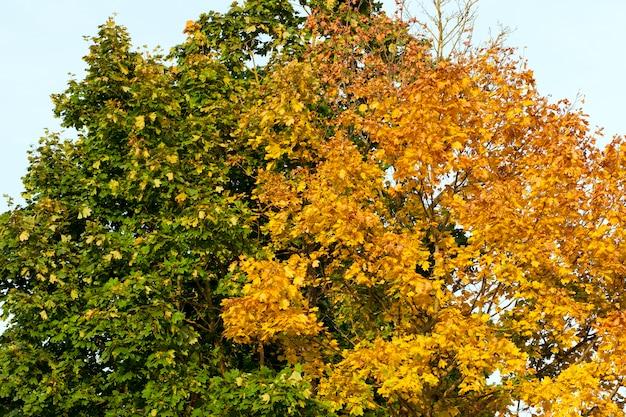 Twee bomen met kleurrijke kronen in het herfstseizoen, de toppen van planten in de middag