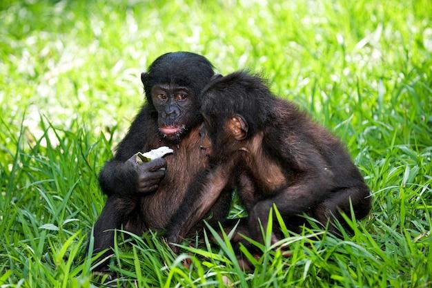 Twee bonobo's zitten op de grond. democratische republiek van congo. nationaal park lola ya bonobo.