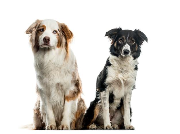 Twee border collie-honden zitten, uitgesneden