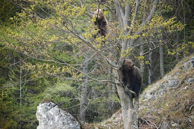 Twee bruine beer klimmen op boom in de lente natuur