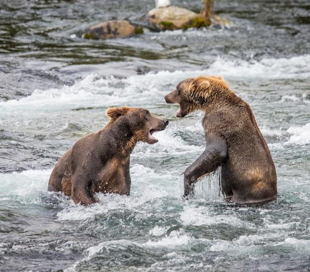 Twee bruine beren spelen met elkaar in het water