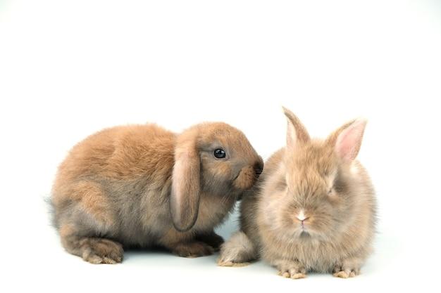 Twee bruine konijnen in paren gerangschikt op een wit.