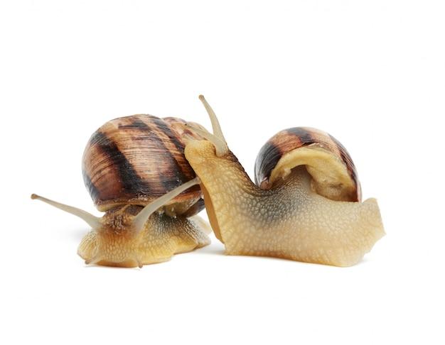 Twee bruine slakken die op witte ruimte, zijaanzicht en vooraanzicht worden geïsoleerd