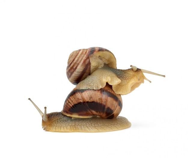 Twee bruine slakken zijn geïsoleerd op een witte achtergrond
