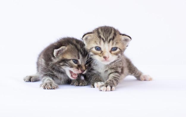Twee bruine, witte harige pluizige kittens met blauwe ogen die samen op de ivoren achtergrond zitten, kijkend naar de camera