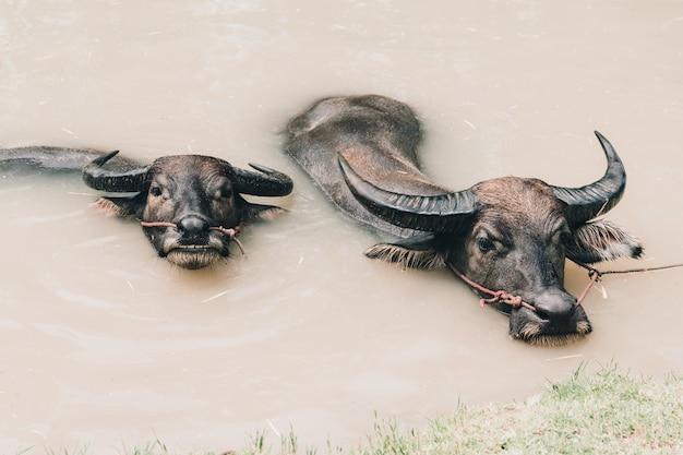 Twee buffels die in kanaalwater zwemmen