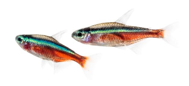 Twee cardinalis-vissen of kardinaaltetra die op wit wordt geïsoleerd