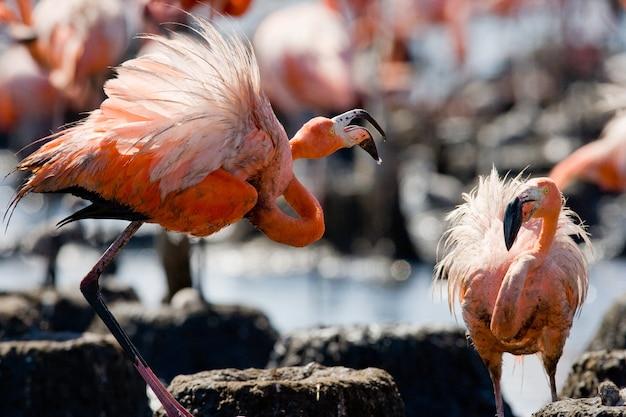 Twee caribische flamingo's spelen met elkaar