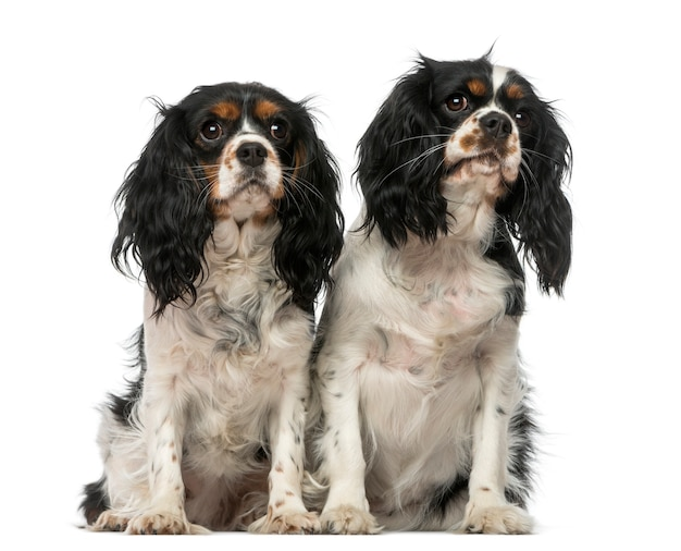 Twee cavalier king charles spaniels