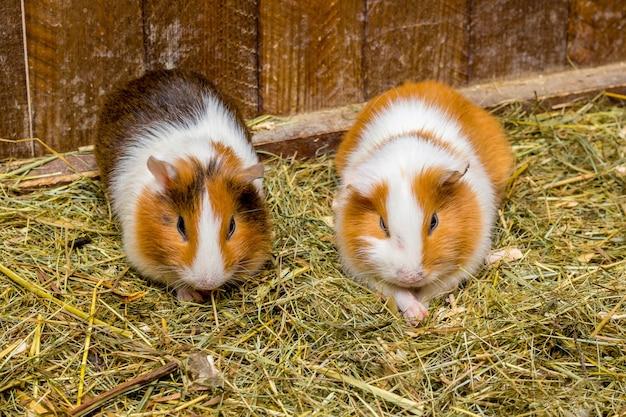 Twee cavia's zitten in het hooi. fokken en verkoop van cavia's_