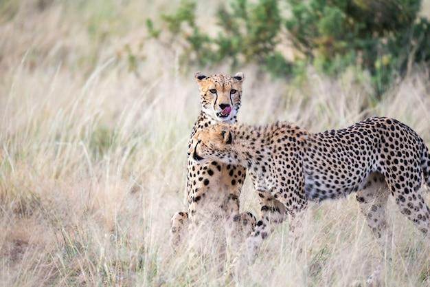 Twee cheeta's maken elkaars vacht schoon in het hoge gras