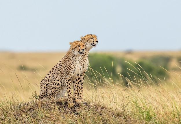 Twee cheeta's op de heuvel in de savanne.