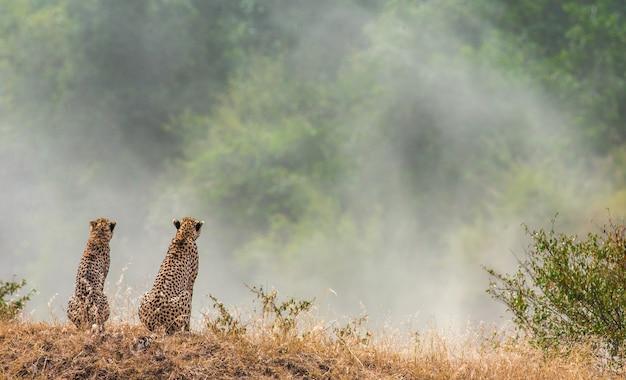 Twee cheeta's zitten naast elkaar en kijken naar het stof in de savanne.