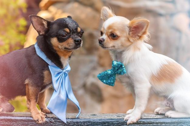Twee chihuahua-honden die buiten strikjes dragen