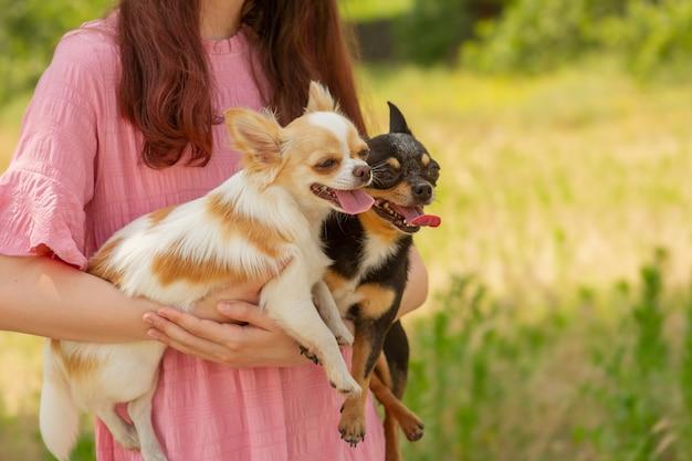 Twee chihuahua-honden in wapens. wandelen met huisdieren. witte en zwarte hond met uitstekende tong. buitenshuis