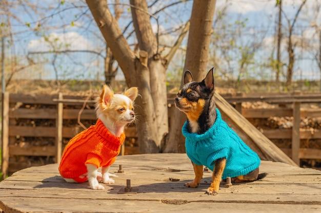 Twee chihuahua-honden zitten op een tuintafel. chihuahua in blauwe en oranje truien. voorjaar