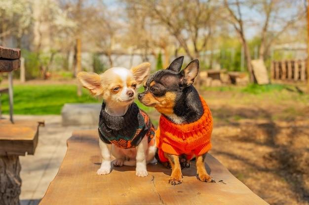 Twee chihuahua-honden zitten op tuinbank. chihuahua in zwarte en oranje truien. chihuahua, tuin