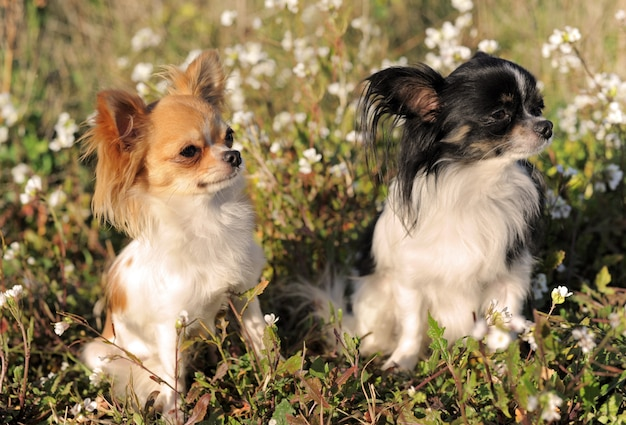 Twee chihuahua