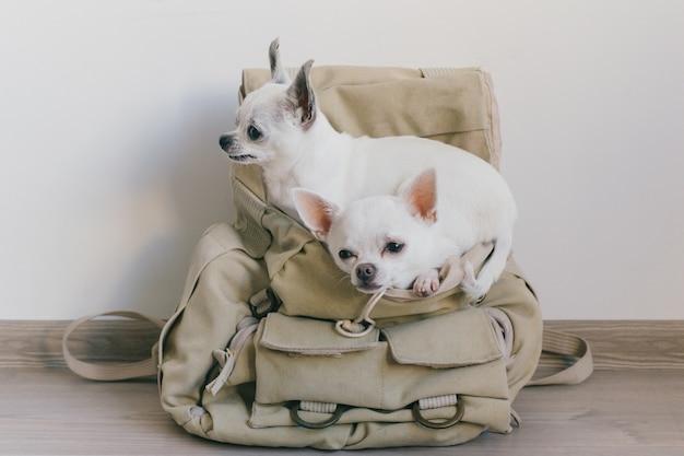 Twee chihuahuapuppy die in zak van hipsterrugzak zitten