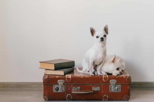 Twee chihuahuapuppy die op koffer liggen. zoogdier huisdieren thuis. lieve honden met grappige gezichten. huisdieren geïsoleerd op een witte muur. klaar om te reizen. vintage boeken. vreemde snuiten.
