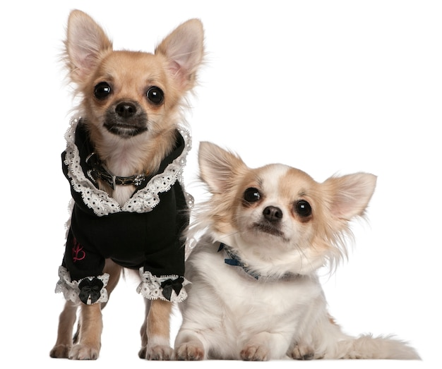 Twee chihuahuas verkleed