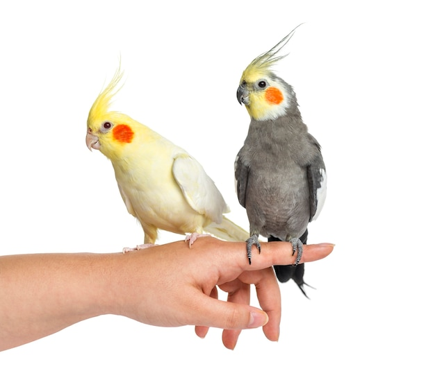 Twee cockatiel op menselijke hand, geïsoleerd op wit