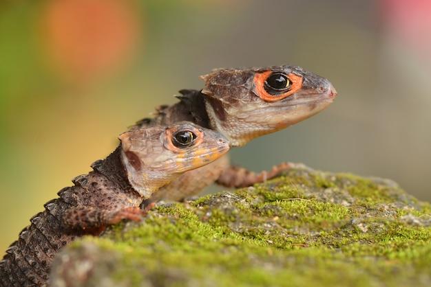 Twee croc skink kijken zorgvuldig naar hun omgeving