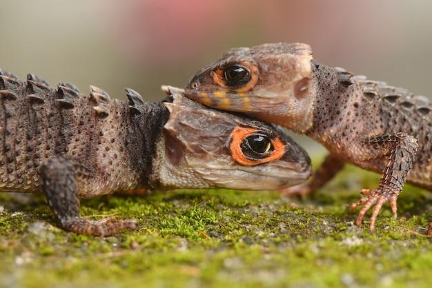 Twee croc skinks zitten op elkaar