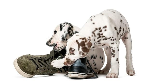 Twee dalmatische puppy's die op schoenen kauwen