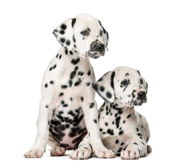 Twee dalmatische puppy's voor een witte muur