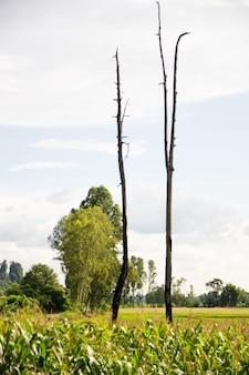 Twee dode bomen tussen de maïsvelden