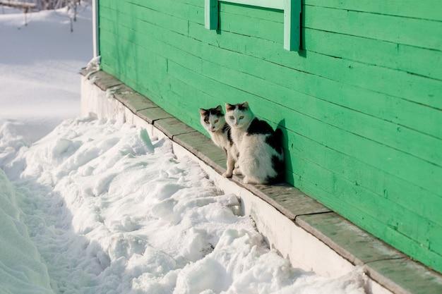Twee dorpskatten die en dichtbij huis in de winter zitten kijken