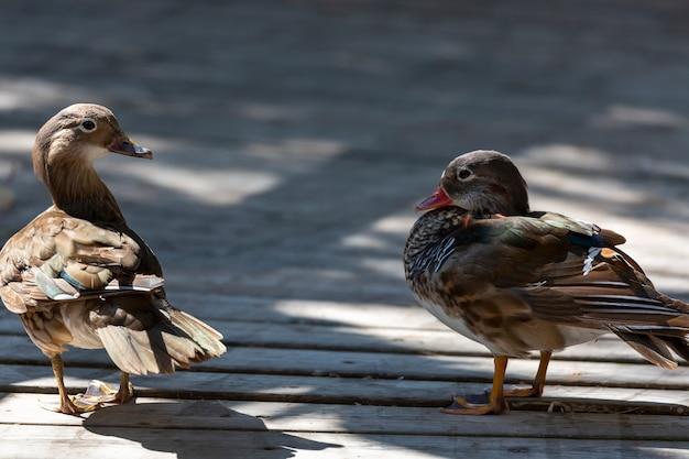 Twee eenden die op een houten vloer staan en elkaar aankijken. eend met rode snavel. selectieve focus op mooie wilde eenden. schattige kleine eend bruine en witte veren tegen een onscherpe achtergrond