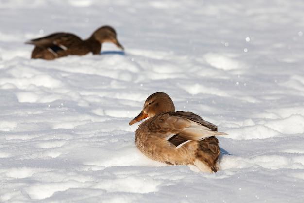 Twee eenden overwinteren in europa, het winterseizoen met veel sneeuw en vorst, een paar eenden leven in een stad in de buurt van de rivier, in de winter worden ze gevoed door mensen