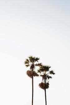 Twee eenzame tropische exotische palmbomen tegen witte hemel. minimaal. zomer- en reisconcept op phuket