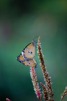 Twee effen tijgervlinders paren op de bloemplant