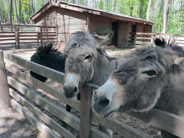Twee ezels in de dierentuin kijken een kant op. fotografie van dieren.