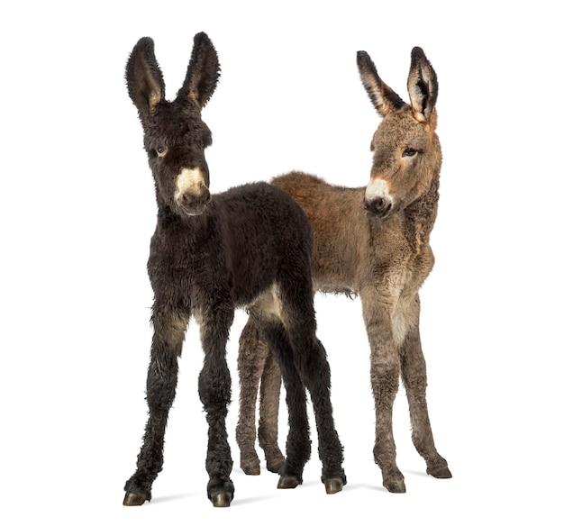 Twee ezels veulen, baudet du poitoux geïsoleerd op wit